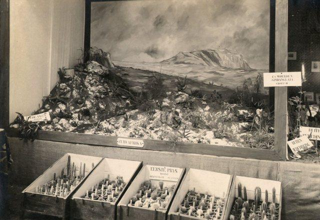 Cactus- en vetplantententoonstelling, Batavia, 1933