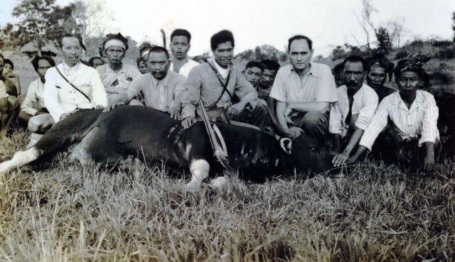 Lapré met gedode wilde buffel, op Lombok.