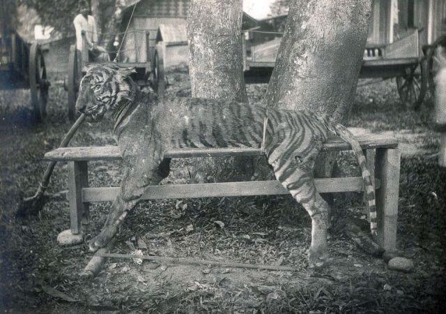 Afgeschoten tijger, vermoedelijk op Noord-Sumatra, ca. 1915