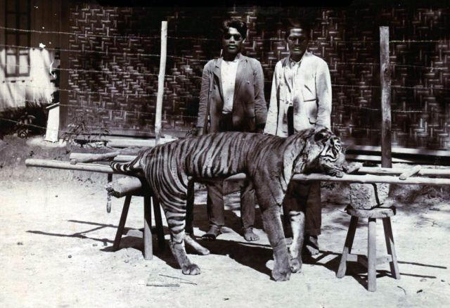 Mannen bij een geschoten tijger in Nederlands-Indië, ca. 1930