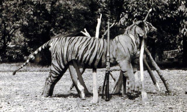 Door A.G.E. Lapré gedode tijger. Let op de huisvlijt om hem rechtop te laten staan!
