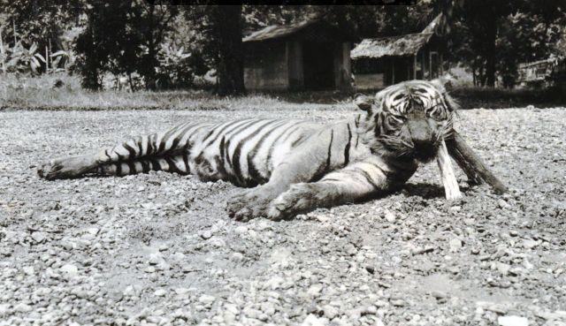Door A.G.E. Lapré gedode tijger