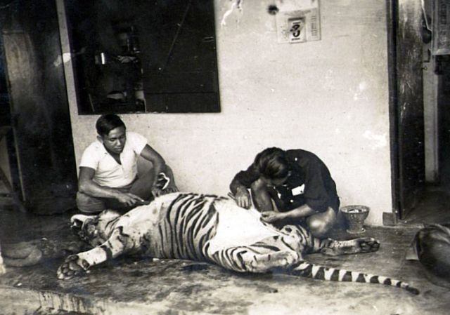 Het  villen van de tijger. Foto: KIT, FZF.