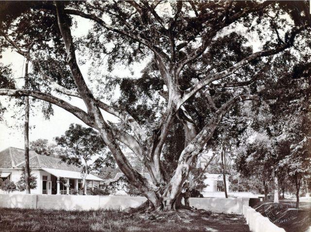 Woodbury & Page, 'Een waringinboom op een huiserf in Gang Scott (Batavia) met op de achtergrond de Armeense kerk', uit: 'Indrukken van Indonesië, Jawa (Java)', circa 1870, op registratiekaart geplakte fotografie; genomen op de hoek van het Koningsplein (rechtsachter de fotograaf) en de Gang Scott (rechts, in de verte weglopend richting Tanah Abang in het westen), met pal achter de fotograaf de Gang Holle, op de voorgrond het huis waarin volgens Hein Buitenweg in zijn Zo kenden wij Batavia de jonge Louis Couperus heeft gewoond (maar die in zijn Baren en oudgasten op pag. 147 juist het hoekpand in de noordelijker gelegen Gang Secretarie in die hoedanigheid noemt), in het midden de rechterzijkant van de voorgevel van de Armeense Kerk en helemaal rechts op de foto (net niet zichtbaar) ) de tuin van het voormalige huis van Robert Scott waar in 1857-'58 Berthes meisjesschool in gevestigd is; de foto moet gemaakt zijn vanuit de voortuin van het huis van Mrs Bain, de 'landlady' van Woodbury en Page na hun aankomst op Java in 1857.