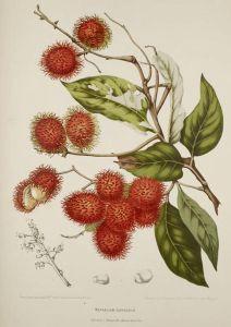 Madame Hoola van Nooten: Fleurs, fruits [etc] de l'Île de Java [etc], ongenummerde plaat 'Nephelium Lappaceum Jack.'