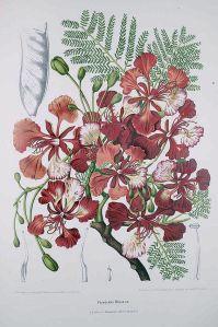 Madame Berthe Hoola van Nooten: Fleurs, fruits [etc] de L'île de Java [etc], ongenummerde plaat 'Poinciana Regia' [= Delonix regia, vlamboom of pauwenbloem], chromolithografie.