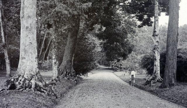 Buitenzorg, hoofdweg door de Plantentuin.