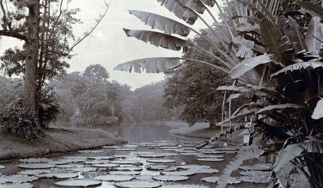 Vijver met leliebladen (Victoria Regis)